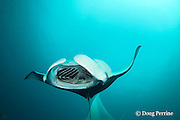 reef manta ray, Manta alfredi (formerly Manta birostris ), barrel-roll feeding on plankton, Hanifaru Bay, Hanifaru Lagoon, Baa Atoll, Maldives ( Indian Ocean )