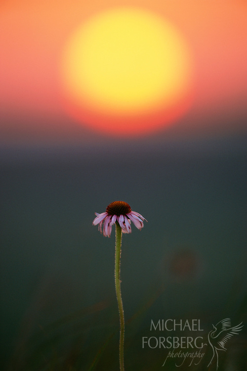 Flint Hills, Kansas Isolated on a grassy hilltop at the Konza Prairie Preserve, a purple coneflower stands tall against a setting sun. Found throughout most of the Great Plains, the coneflower blooms in mid-summer and is one of the more showy flowers of the prairies. Part of the Echinacea family, it was an important medicinal plant of the Great Plains Indians. Today their healing properties beyond the aesthetic are garnering serious attention and study once again.