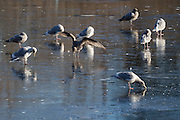 Several gulls, mainly herring gulls (Larus argentatus), rest and look for food on the frozen surface of Sprague's Pond in Lynnwood, Washington.