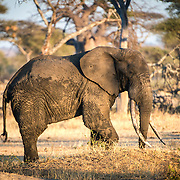 An elephant with very long tusks in the late afternoon light at Tarangire National Park in northern Tanzania not far from Ngorongoro Crater and the Serengeti.