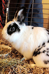 May 10, 2017 - Washington, DC, United States of America - The official Photo of the Day handout showing the Second Family pet rabbit, Marlon Bundo, also known as BOTUS released the White House press office while U.S. President Donald Trump was meeting with Russian Foreign Minister Sergey Lavrov in the Oval Office of the White House May 10, 2017 in Washington, DC. Trump refused entry to the White House media and only Russia media was allow to cover the event. (Credit Image: © Hannah Macinnis/Planet Pix via ZUMA Wire)