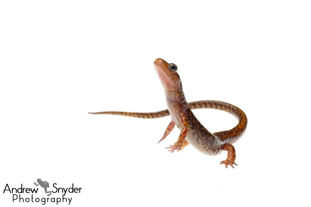 Long-tailed salamander (Eurycea longicauda) - Tishomingo, Mississippi.