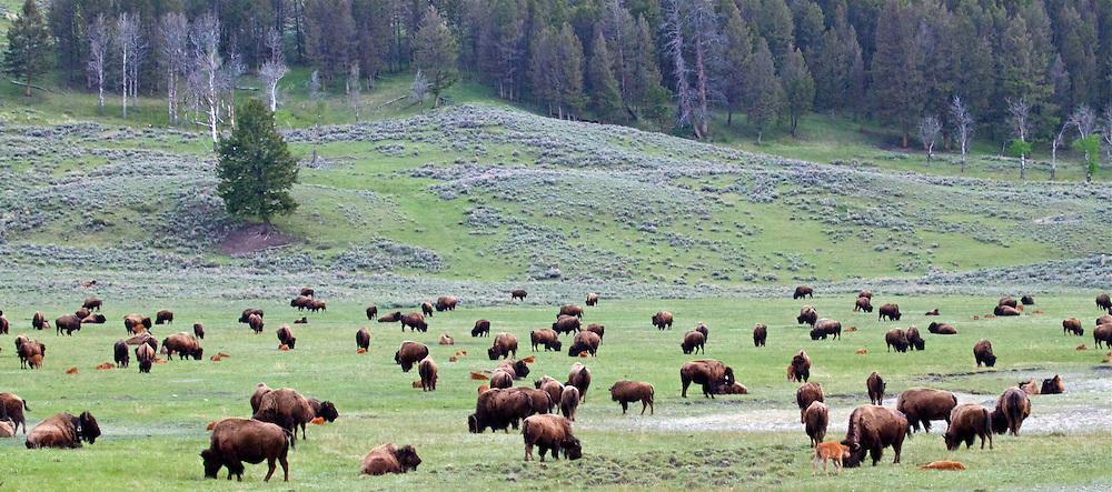 Buffalo Herd, Yellowstone