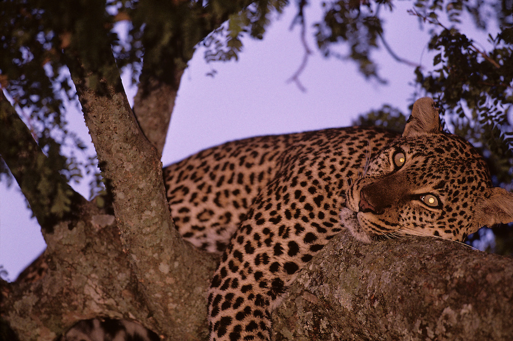 Africa, Kenya, Masai Mara Game Reserve, Adolescent Male Leopard (Panthera pardus) sleeping in tree branch at dusk
