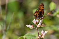 Chlosyne h. hoffmanni (Hoffmann's Checkerspot) at Eagle Meadow, Tuolumne Co, CA, USA, on 22-Jul-12
