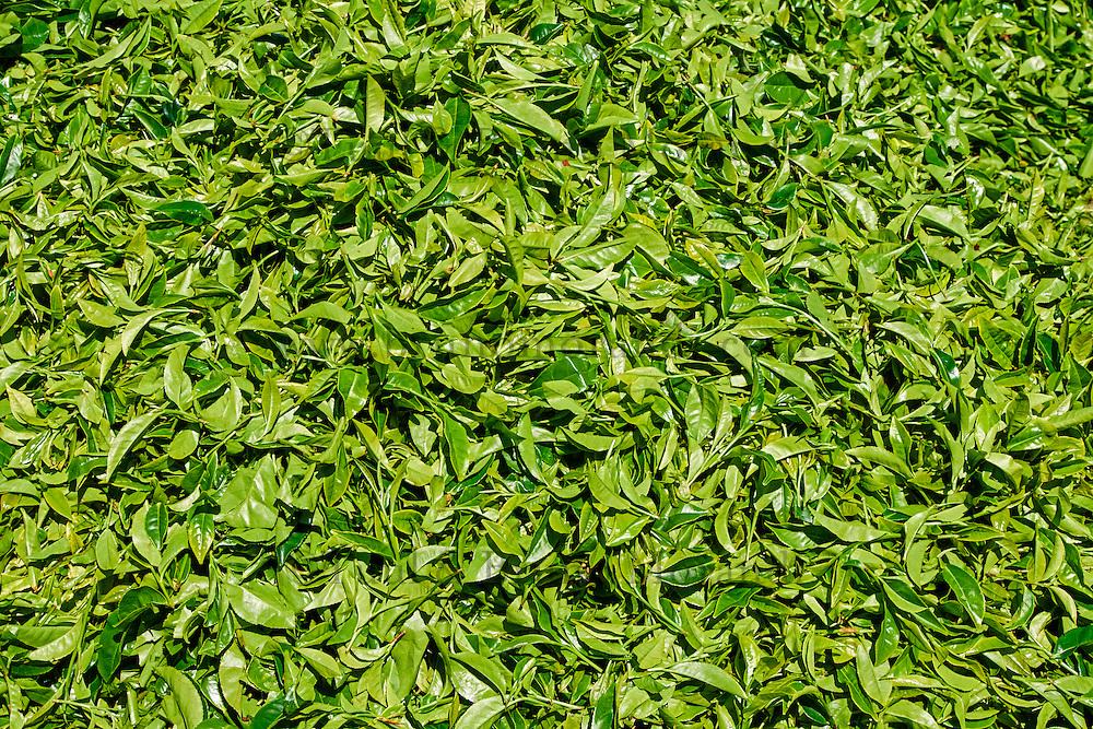 Sri Lanka, province du centre, Nuwara Eliya, feuilles de thé //  Sri Lanka, Ceylon, Central Province, Nuwara Eliya, tea plantation in the Highlands, tea leaves