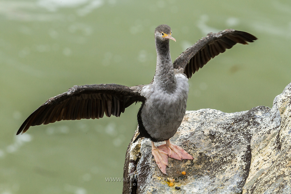 Spotted Shag, Moeraki, New Zealand