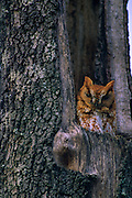 Screech sits in a dead tree in early morning - Mississippi.
