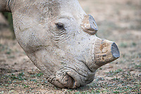 Dehorned White Rhino, Mount Camdeboo, Eastern Cape, South Africa