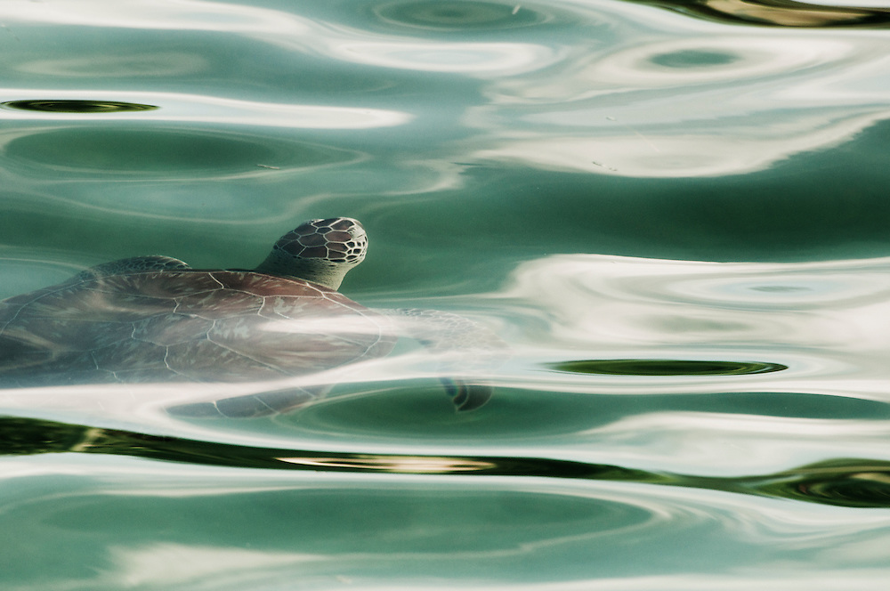 A green sea turtle comes to the surface for a breath of air
