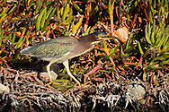 A green heron stands in iceplant next to a water channel, Redwood Shores, CA.
