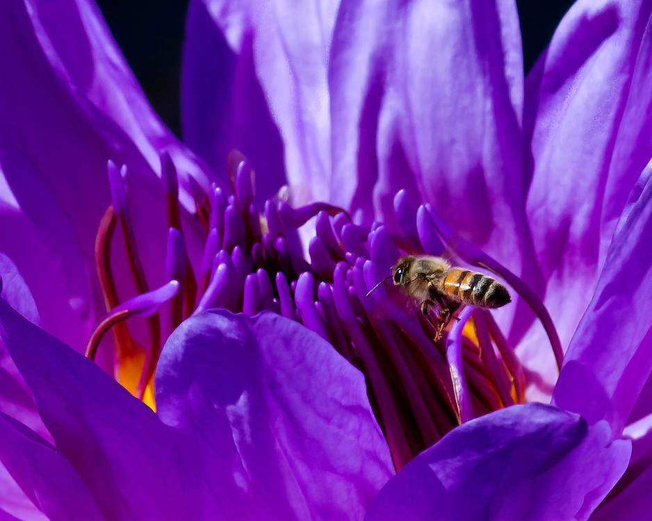 A stunning looking dark purple water lily and a bee at the lily pond.