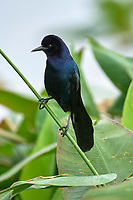 Boat-tailed Grackle (Quiscalus major), Wakodahatchee Wetlands, Delray Beach, Florida, USA