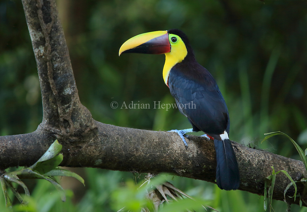 Chestnut-mandibled toucan (Ramphastos swainsonni). Caribbean rainforest, Costa Rica. <br /> <br /> For pricing click on ADD TO CART (above). We accept payments via PayPal.