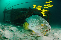 Giant grouper with golden trevallies, Mabul, Sabah, Malaysia. The island of Mabul is a mecca for divers and famous for its unusual biodiversity. The island of Sipadan is close by.