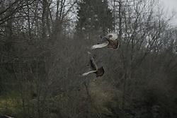 Turkeys in a paddock off Leestown Road, Saturday, Dec. 06, 2014 at Fayette County in Lexington.
