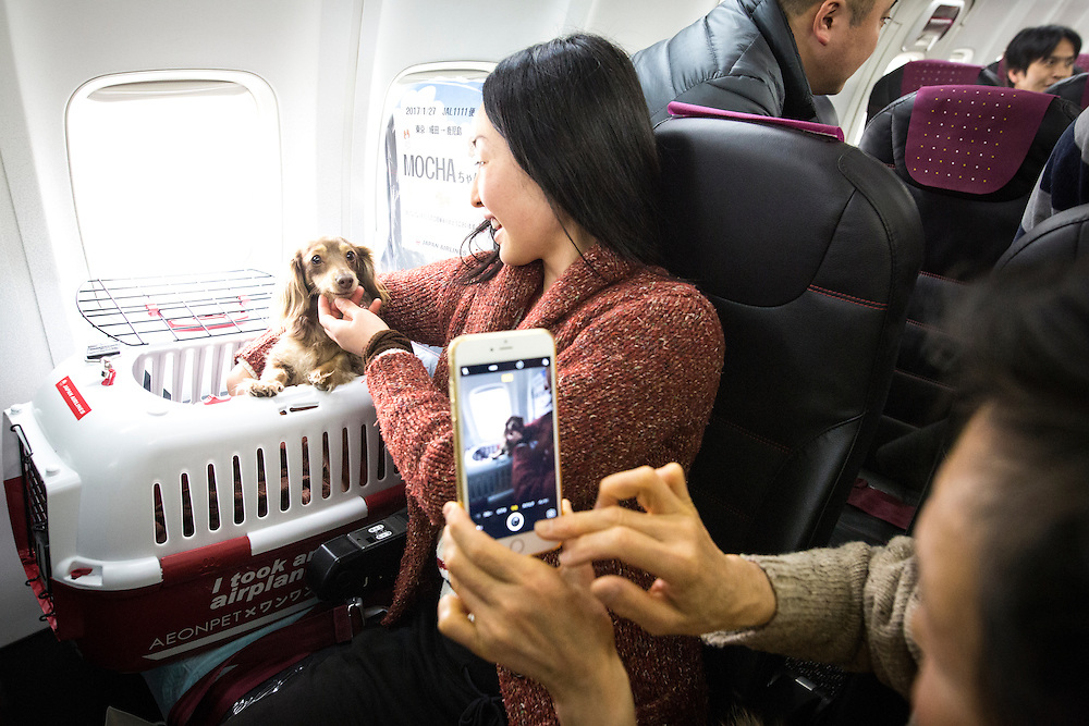 "CHIBA, JAPAN - JANUARY 27 : A woman and his dog takes photos inside of a plane in Chiba, Japan on January 27, 2017. Japan Airlines ""wan wan jet tour"" allows owners and their dogs to travel together on a charter flight for a special three-day domestic tour to Kagoshima Prefecture, southwestern Japan. As part of the package tour, the owners and their dogs will also get to stay together in a hotel and go sightseeing in rented cars. (Photo by Richard Atrero de Guzman/ANADOLU Agency)"