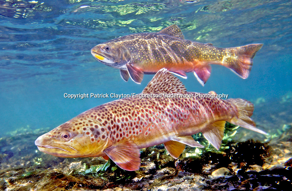 Brown Trout (with Brook Trout in Background)<br /> <br /> Patrick Clayton/Engbretson Underwater Photography