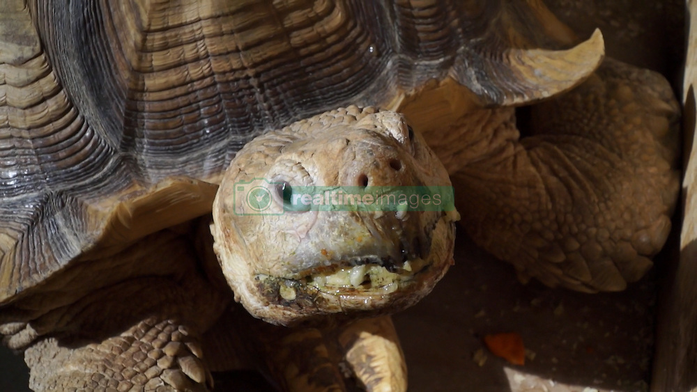 """Herr  Mitani beheimatet seit 20 Jahren eine Riesenschildkröte in seiner Tokioter Wohnung / 110916 ***<br /> VIDEO AVAILABLE - JAPAN OUT<br /> Man Lives with Giant Tortoise in Tokyo<br /> Tsukishima, Tokyo, Japan. Bon, the giant tortoise, is an international star online. Mrs. Mitani bought a small tortoise at a supermarket and brought him home 20 years ago. It was in the middle of August, during the traditional """"Bon"""" holiday, which became his namesake. Now, 20 years later, Bon is a meter long and weighs about 70kg. His favorite foods are bananas, apples, cabbage, and carrots.<br /> African spurred tortoises come from a warm habitat, so he always wears a hand-made cloth when he goes out. He usually walks 5-600 meters and it takes him about an hour to an hour and a half to complete his route. <br /> In the interview, Bon's owner, Mr. Mitani, said, """"Bon is like my son."""" They sure looked like father and son, walking together side by side."""