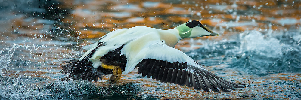 Escaping male Common eider, taken with 400 mm today. | Hann ærfugl i flukt tatt med 400 mm idag.