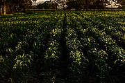 Patos de Minas_MG, 02 de Fevereiro de 2010..Historias - Cachaca Leblon..Na foto, lavoura do produto que deu fama a regiao: o milho...Foto: LEO DRUMOND / NITRO