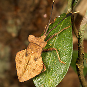 Coreidae sp. insect in Thailand's Nam Nao National Park.