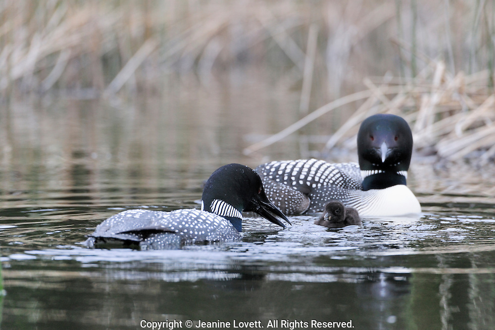 Male and female loon feeding chick dragon fly larvae.