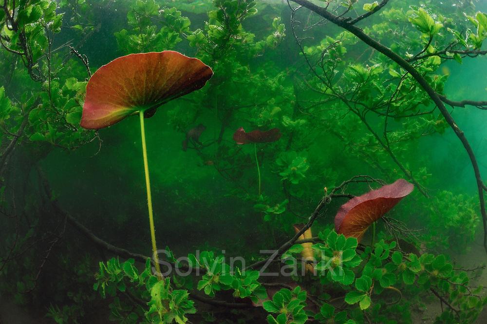 White water lily (Nymphaea alba) lake Stechlin, Germany | Blätter der Weißen Seerose (Nymphaea alba) auf dem Weg zur Wasseroberfläche. Hier wachsen sie durch eine ins Wasser gefallene Baumkrone (Buche). Umgefallene Bäume sind typisch für den Uferbereich des Stechlinsees