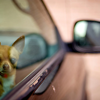 011212       Adron Gardner<br /> <br /> &quot;Nakai,&quot; a Chihuahua, gazes from the window of a truck while his owner, Selena White, folds clothes at Aztec Laundry in Gallup Thursday.