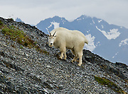 "A mountain goat shares the Exit Glacier Trail in the Kenai Mountains of Alaska, USA. The mountain goat (Oreamnos americanus, or Rocky Mountain Goat) is a large-hoofed mammal found only in North America. It is an even-toed ungulate in the family Bovidae, in subfamily Caprinae (goat-antelopes), in the Oreamnos genus, but is NOT a true ""goat."" The only road into Kenai Fjords National Park is a spur of the Seward Highway to Exit Glacier, one of the most visited glaciers in Alaska. It was named after the exit of the first recorded crossing of Harding Icefield in 1968. Hike trails to the glacier terminus or up to Harding Icefield."