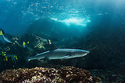 White-Tipped Reef Shark (Triaenodon obesus)<br /> Rabida<br /> Galapagos<br /> Ecuador<br /> South America