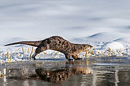Reflecting on Winter, a river otter runs along a partially frozen beaver pond in Grand Teton National Park