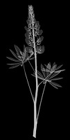 X-ray image of a lupine stalk (Lupinus, white on black) by Jim Wehtje, specialist in x-ray art and design images.