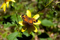 A female pearl crescent feeds on the nectar of a wildflower in a forest clearing in northern Gadsden County, near the Florida-Georgia border.