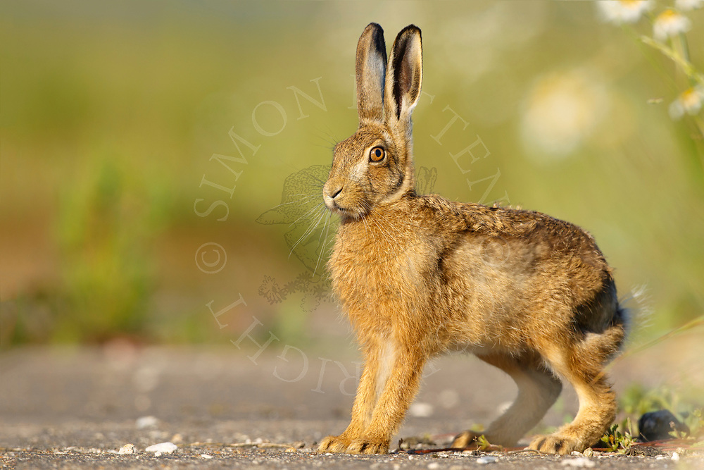 European Hare (Lepus europaeus) juvenile alert on farm track, South Norfolk, UK. June.