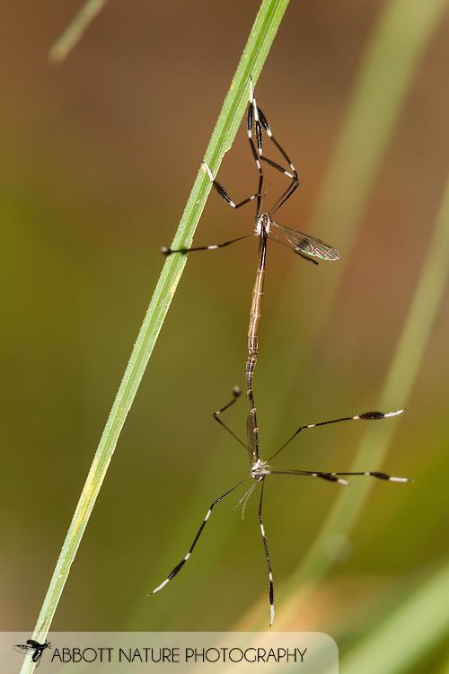 Phantom Crane Fly (Bittacomorpha clavipes) in copula<br /> TEXAS: Jasper Co.<br /> stream in Angelina National Forest<br /> Jasper, 18 mi NW<br /> 11-Jun-2015<br /> J.C. Abbott #2744 &amp; K.K. Abbott