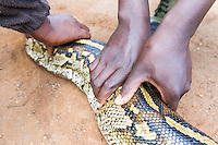 African Rock Python recovered alive after arrest of poaching gang., Hlane Royal National Park, Swaziland