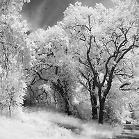 Infrared rendition of oak trees at Turtle Bay in Redding, Shasta County, California