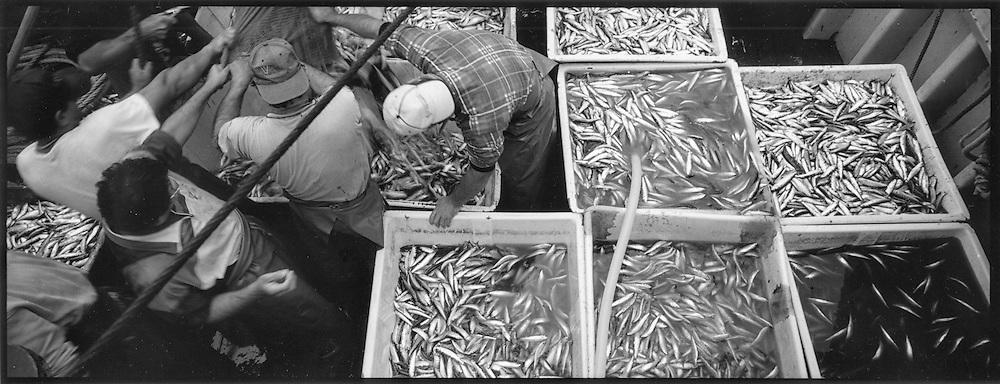 Vasche piene di alici<br /> <br /> tanks full of anchovies