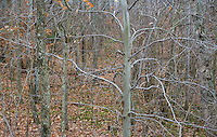 View looking through a hardwood / deciduous forest in Southern Maryland in Winter