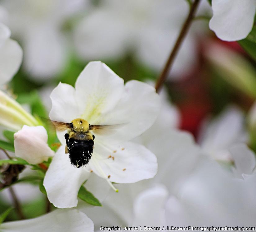 Bee flying to Azalea white