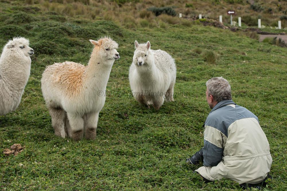 Alpaca (Vicugna pacos) & Pete Oxford<br /> Condor Bioreserve as part of the Antisana Ecological Reserve<br /> ECUADOR, South America<br /> Last erupted between 1801 and 1802