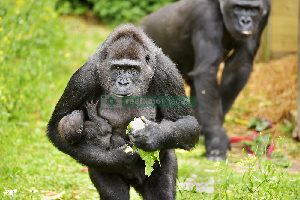 """May 30, 2017 - Bristol, Bristol, UK - Bristol, UK. Gorilla mum TOUNI with baby yet to be named. Keepers at Bristol Zoo Gardens have revealed that their new baby gorilla is a girl. The little Western lowland gorilla was born in the early hours of Saturday, April 22nd to first-time mum Touni and silverback gorilla dad, Jock. Touni has been at the Zoo since September 2015 after coming from La Vallée des Singes zoo in France, as a breeding partner for Jock. The bright-eyed five week old baby is getting stronger every day and now needs a name. Bristol Zoo's curator of mammals, Lynsey Bugg, said: """"Our little lowland gorilla is doing incredibly well - developing exactly as she should, feeding well and putting on plenty of weight. Now we would like to ask the public to help us choose a name for her.""""  The Zoo is asking members of the public to vote on their favourite from a choice of three names, all inspired by the name 'Daisy'. She added: """"We would like to name her in memory of the baby daughter of one of our colleagues who was born four years ago on the same day as the baby gorilla. Daisy was stillborn and we thought this would be a lovely tribute to her."""" Keepers have chosen a shortlist of names for the baby gorilla – Fleur, Ayana and Undama. Fleur is French for flower, chosen because Touni is French. Ayana means 'pretty flower' in Ethiopian, and Undama means 'beautiful flower' in Swahili. Voting will open later today (Tuesday 30 May) on the Bristol Zoo Facebook page. After Daisy was born, her parents, who are both members of staff at Bristol Zoo, received support from SANDS (the stillborn and neonatal death charity). For more information about SANDS, visit www.sands.org.uk/ or phone 0808 164 3331. The new baby takes the number of gorillas living at Bristol Zoo to eight. The refurbished and extended Gorilla House opened in 2013 and is able to accommodate up to 10 gorillas in a state-of-the-a"""