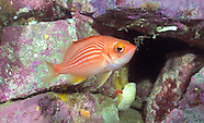 Red lined perch