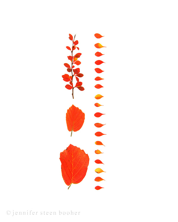 A pattern formed of bright red barberry and fothergilla leaves on a white background (autumn foliage, Bar Harbor, Maine)