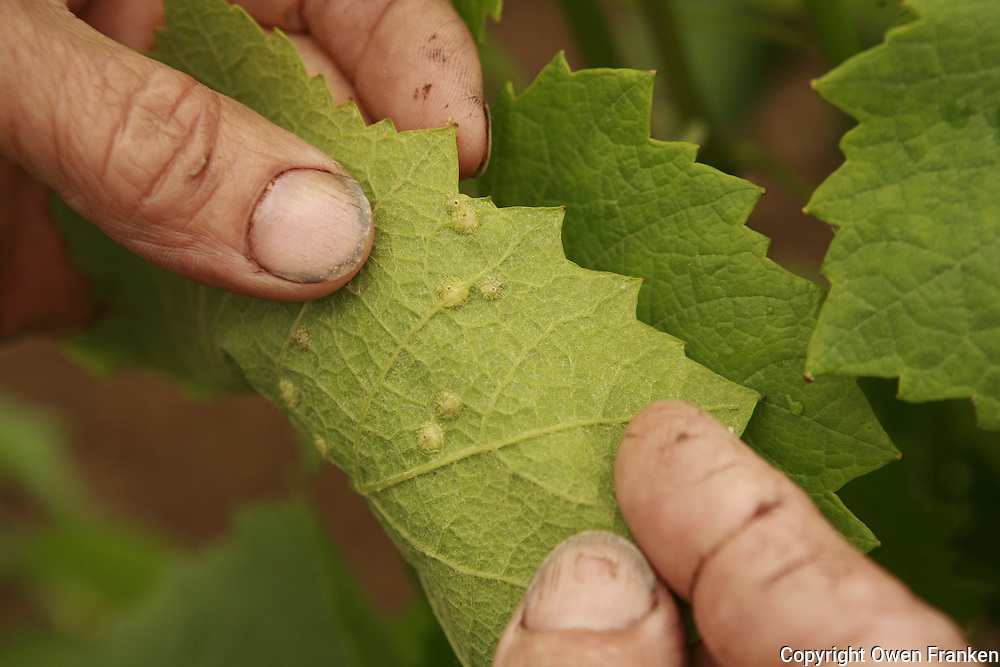 Muscadet winemaker Jo Landron, Domaine de la Louvetrie, La Haye Foussiere..showing a leaf with Phyloxera (benign)...Photograph by Owen Franken