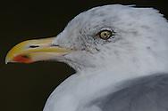 Photographer: Kyle Reynolds..Bird Species: Herring Gull..Location:..Date Taken: