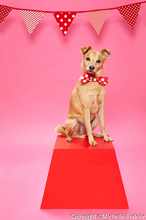 Brown smooth coat terrier mix wearing red and white polka dot bow tie standing on red pedestal against pink seamless.<br /> Photographed at Photoville Photo Booth September 20, 2015