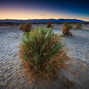 Random plants survive in a desert wash 100 feet below sea level in Death Valley National Park, California.