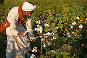 Manga harvesting organic cotton on their farm in  Sendhwa, India.<br /> <br /> Manga and his wife, Sheela, have recently converted to organic cotton farming with help from the Aga Khan Foundation who are working in partnership with the C&A Foundation.